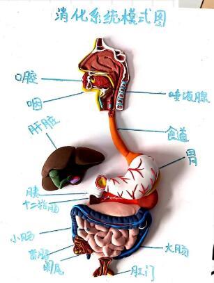 消化系统的组成和各自功能,值得收藏