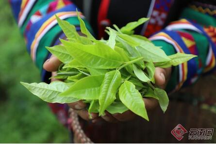 绿色云茶产业破千亿,云茶产业深植产区走有机绿色发展之路