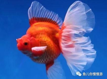玻璃缸养什么金鱼好看?重点推荐这十大金鱼品种