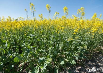 在四川种油菜一亩地能挣多少钱?油菜种植前景如何?