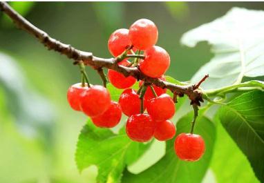 全球樱桃种植分布及我国樱桃进口现状