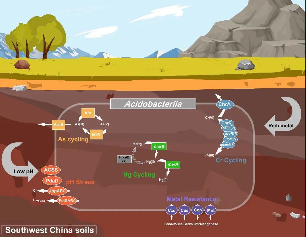 揭示嗜酸杆菌在重金属污染酸性土壤中的生态适应性机制