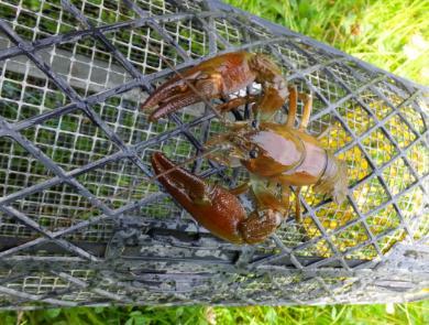 英国拟禁止煮食龙虾螃蟹等活物,将将龙虾、螃蟹等无脊椎动物列入保护动物