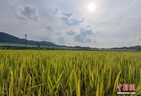 """""""航聚香丝苗""""水稻迎来丰收,这批水稻种子有何特别之处"""