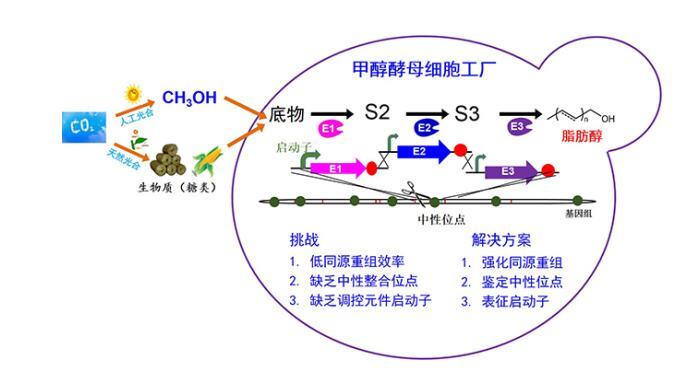 中科院大连化物所实现毕赤酵母高效代谢改造,毕赤酵母表达系统简介