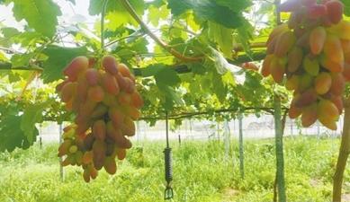 露天種植到現代設備精細化種植,葡萄種植見證慈溪農業跨越式發展