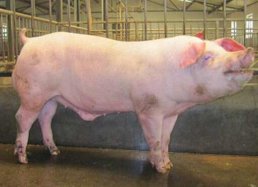 我國種豬改良育種研究情況:能否打破發達國家對頂級種豬市場的壟斷