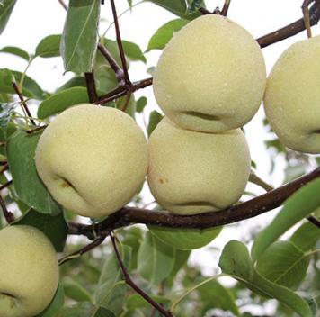 我国酥梨的第一品牌:砀山酥梨发展史