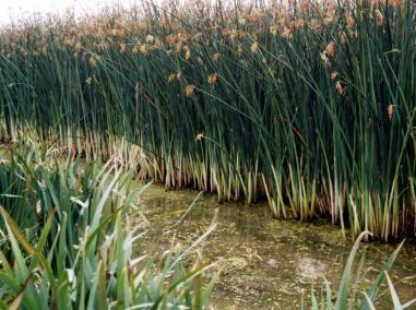 5种不同的湿地植被开展净化生活污水效果研究