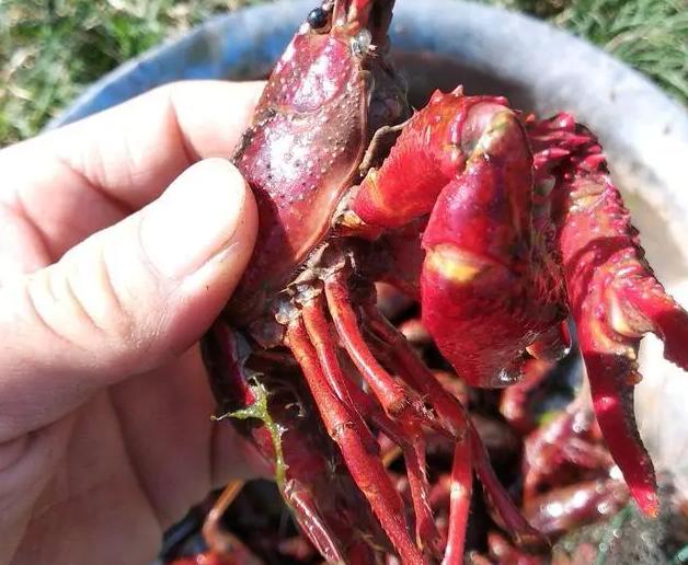 养殖小龙虾长不大是什么原因?详解丁壳虾长不大的八种原因