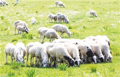 锡林郭勒羊助力锡林郭勒畜牧业高质量发展