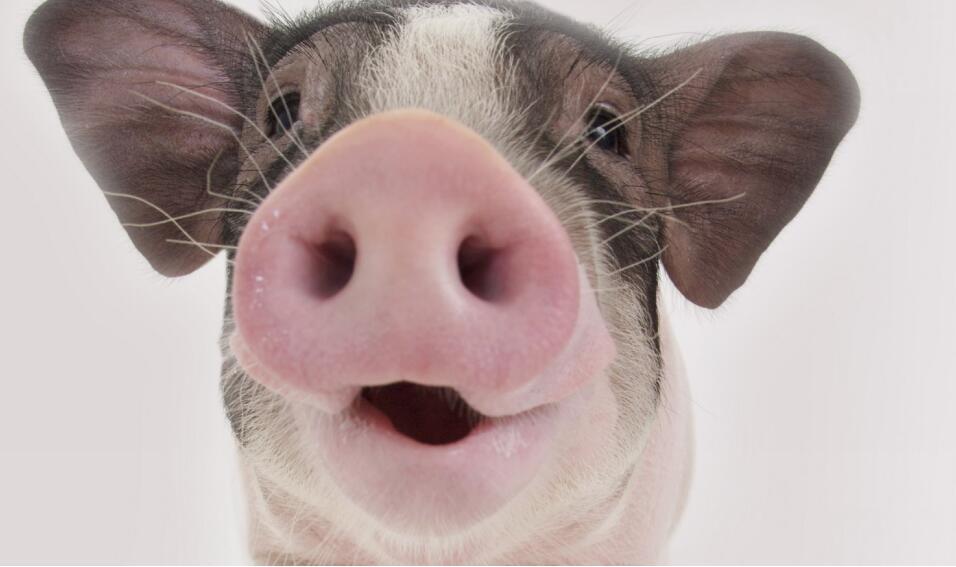 夏季高温天气,猪中暑、猪应激等症状及预防治疗方法