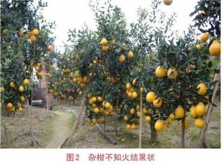 柑橘面积产量、种植品种、栽培技术及加工销售方式之变化