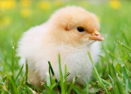 我国蛋鸡肉鸡育种研究现状及面临挑战、发展建议