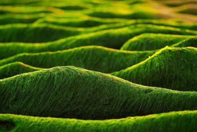 日本?用藻類制造噴氣燃料用來實現碳減排