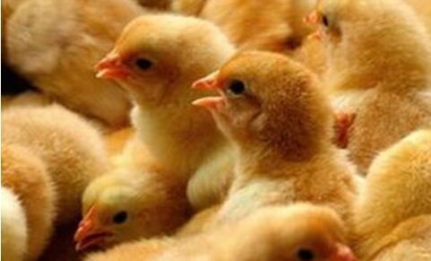 业内预测蛋鸡发展行情,未来10~20年是黄金期
