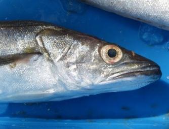 鳕鱼是一种什么样的鱼,纽芬兰的鳕鱼对新大陆历史的影响
