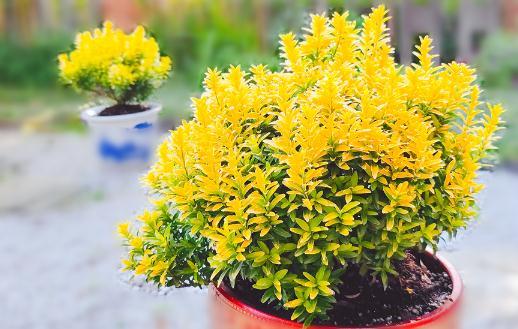 新品种黄金卫矛是什么植物?黄金卫矛生长速度、习性及市场发展前景