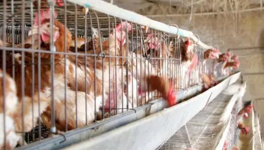 蛋鸡几种常见肿脸症状疾病的鉴别诊断,预计未来蛋鸡的养殖竞争更激烈