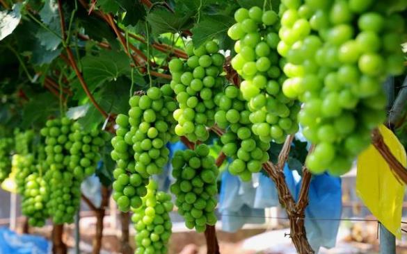 阳光玫瑰葡萄从每斤300元跌至10元,阳光玫瑰葡萄身上到底发生了什么?
