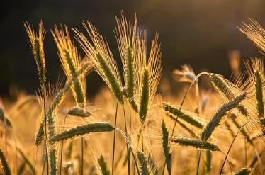 新疆小麦生产补贴到位,夏粮面积、总产、单产创新高