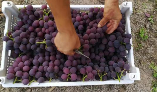 浦江葡萄和巨峰葡萄的区别有哪些?2021浦江葡萄什么时候成熟