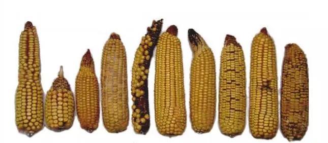 玉米畸形穗有哪些种类?玉米畸形穗是如何形成的?