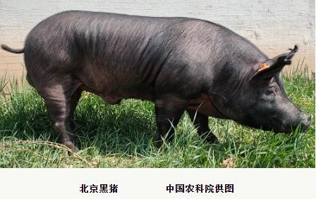 为什么黑猪肉比白猪肉香?新研究揭秘黑猪肉更香特征标志物