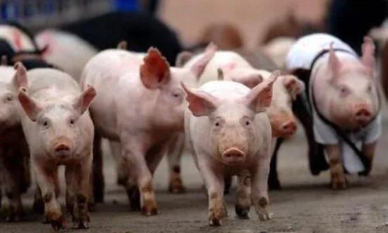 """2021上半年养猪指标分析:猪价深陷""""下跌旋涡"""",牛猪标猪存栏几何"""