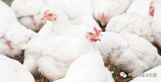 秋季不同时间段肉鸡通风管理和多发病分析,预计中秋国庆后迎来涨价