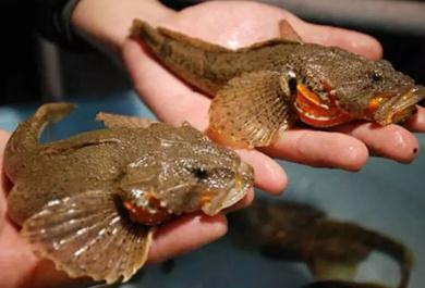 四鳃鲈鱼是哪里的特产?四鳃鲈鱼口感怎么样