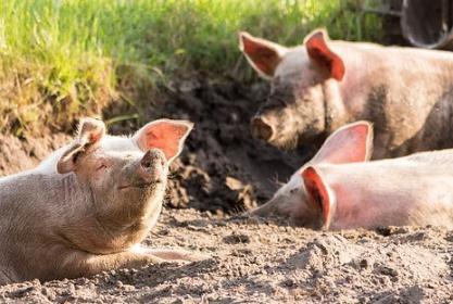 2022年猪价是否会跌至4-5元/斤?