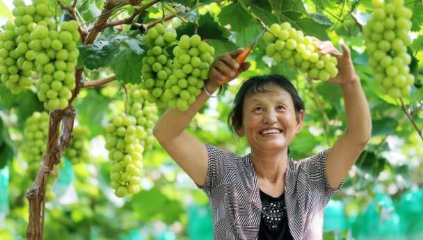 日本的天价葡萄为什么在中国越卖越便宜?