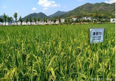 """旱地种水稻什么品种好?耐旱水稻高产品种""""旱优73""""种植方法"""