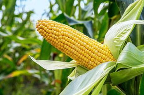 我国玉米种业行业市场现状分析,商品种子价格持续降低