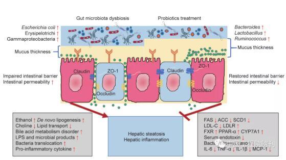 益生菌治疗非酒精性脂肪性肝病的效果,益生菌在人体内的安全性评测