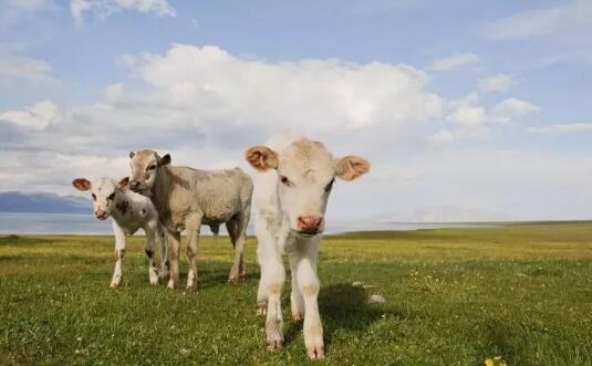牛肉价格、活牛价格一路猛涨,养牛的获利周期分析