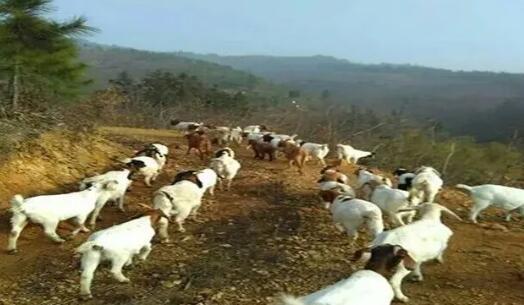 羊羔行情上涨即将迎来涨价,秋季养羊注意这些管理要点!