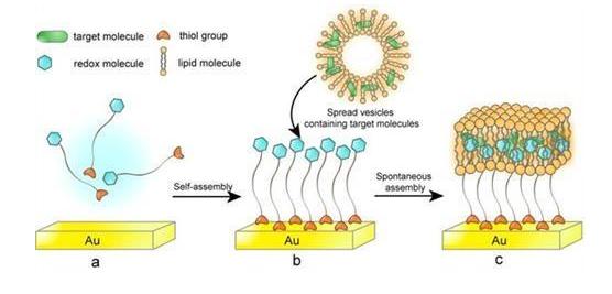 研究LB膜在生物膜仿生模拟的应用