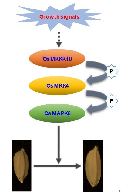 中科院李云海研究组发现水稻种子大小调控的重要机制