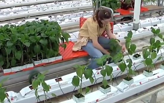 管道也能种植物?新型植物栽培方法火遍全球