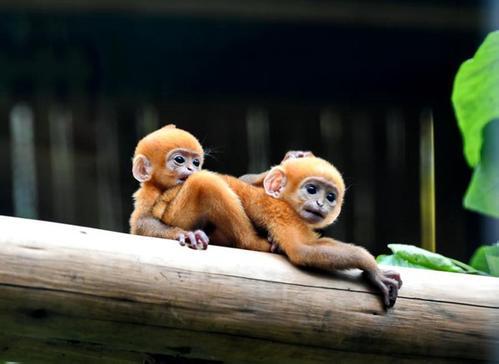 世界首例珍稀黑叶猴龙凤胎在广州长隆诞生