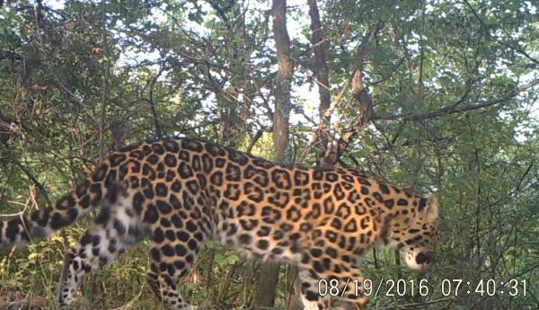 中国特有华北豹迄今最大野生种群被发现