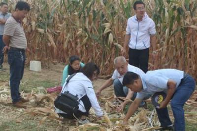 玉米割苗增产技术试验首次测产