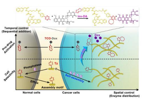 酶触发超分子自组装实现生物正交前药的肿瘤靶向激活