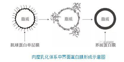 Chaotropic离子影响肌球蛋白乳化稳定性的机理