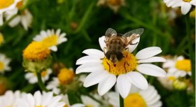 杀死法国蜜蜂元凶:氟虫腈
