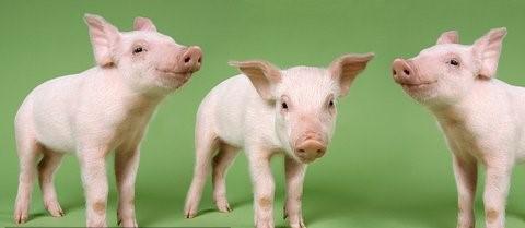 日本岐阜县出现第四例猪瘟感染 猪农生计遭遇重大打击