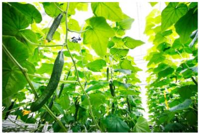 微软在AI种黄瓜大赛获得冠军,每平米产量超50公斤