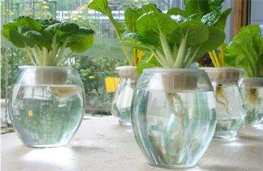 水培蔬菜怎么种植?一招教你拥有自己的菜园